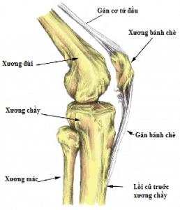 cấu trúc khớp gối