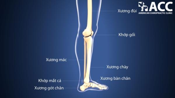 cấu tạo khớp chân