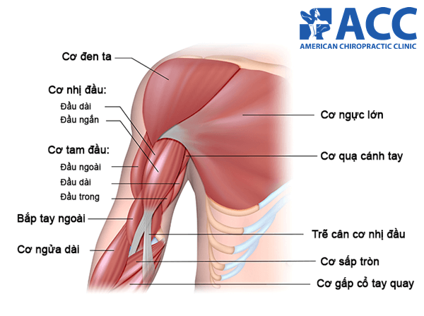 cấu tạo của bắp tay